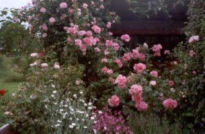 4.Роза «Gerbe Rose» популярна в Южной и Средней Европе с начала 19 века и до сих пор.