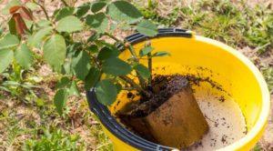 Жесткую емкость ненадолго помещают в ведро с водой, чтобы смочить ком. Тогда он легче вынимается из горшка. Слишком долго держать растение в воде не нужно, иначе ком размокнет и рассыплется.