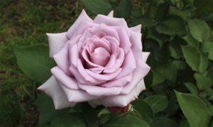 Роза «Блу Мун».