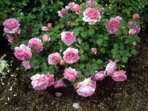 Английская роза «Принцесса Александра Кэнт»(Princess Alexandra of Kent).