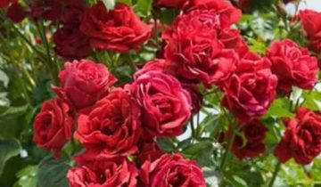 Роза плетистая Мушимара