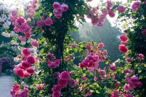 Цветки Parade настолько густомахровые, что стебли прогибаются под их весом. Зато в таком положении им не вредят осадки.