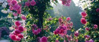 Лучшие розовые плетистые розы