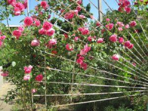 В условиях короткого сибирского лета нужно добиваться максимальной освещённости куста путём горизонтального размещения плетей.