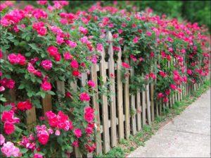 Парковые розы – идеальное растение для формирования колючей живой изгороди.