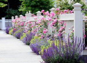 Более традиционный и проверенный компаньон для роз – лаванда.