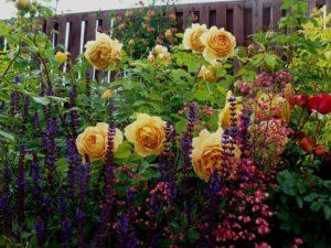 Розы с желтой окраской цветков удачно сочетаются с синими многолетниками.