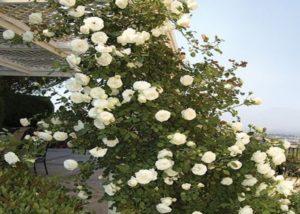 5.Роза «White Star».
