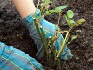 Здоровый саженец имеет не менее трех гладких зеленых побегов длиной 20-30 см с развитыми почками