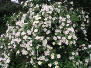 Цветение розы «Невада» такое обильное, что из-за цветков не видно листвы.
