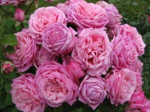 Роза Bienvenue отвечает на уход пышным цветением.