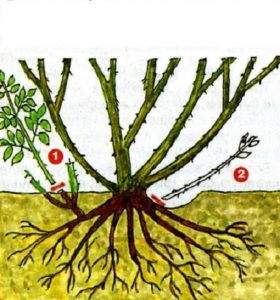 1 – неграмотная обрезка выше уровня грунта стимулирует рост диких побегов от корней подвоя; 2 – вырезка до основания прекращает рост дичков.