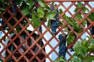 Виноград можно пускать по решетчатым декоративным шпалерам вместе с плестистыми розами.