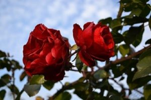 Цветок Флорентины с жёлтым сердечком внутри.