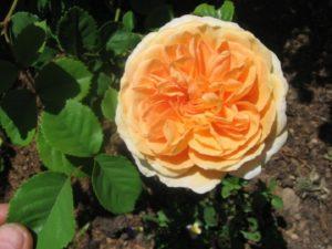 IMG1. Окрас цветка внешне напоминает гофрированную бумагу. Не выгорает на солнце и не портится от дождя. Цветы второй волны цветения держаться немного дольше, чем первой.