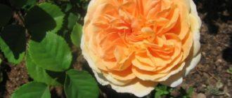 Роза плетистая Камелот