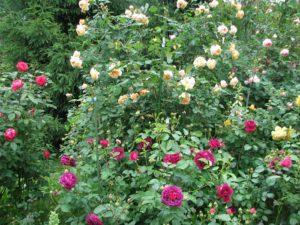 IMG2. Кисть состоит из нескольких бутонов и цветков. Благодаря такой последовательности недостаток в коротком периоде жизни цветка менее заметен.