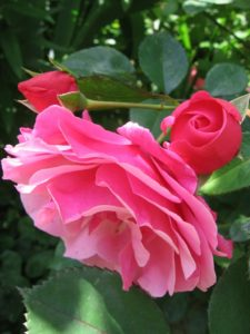 IMG1. Этюд не стоит сочетать с другими цветами розового цвета, иначе вся прелесть и изящность цветка потеряется на общем фоне.