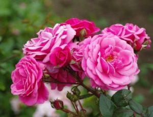 IMG2. Увядшие цветы стараются сразу срезать, чтобы усилить последующее цветение.