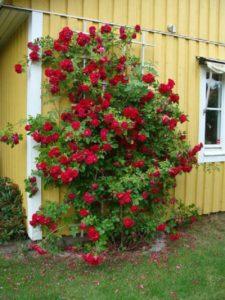 IMG2. Куст очень трудолюбивый, цветёт всё лето: то более интенсивно, а периодами единичными цветками.