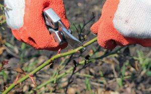 Срез делают под углом 45° градусов на 1-1,5 см выше почки, обращенной наружу.