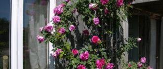 Канадские плетистые розы