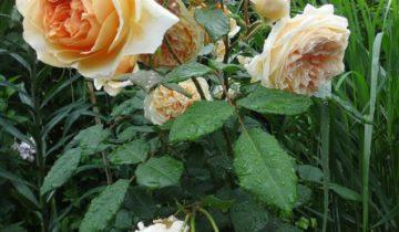 Роза плетистая Принцесса