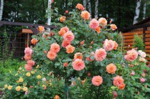 Роза Belvedere хорошо подходит для выращивания на штамбе.