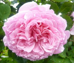 Главное достоинство розы Bienvenue – великолепный ароматный цветок старинной формы.
