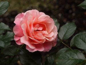 Роза Botticelli очень ценится розоводами за совершенство цветка.