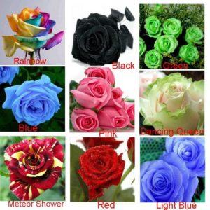 Необыкновенные расцветки роз в китайских магазинах – один из основных мотивов покупки семян.