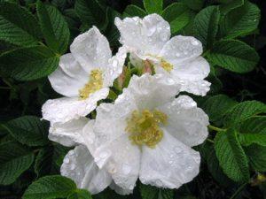Цветки ругозы Альба прекрасно держат дождь, что делает растение пригодным для выращивания во влажном дождливом климате.