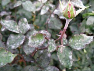 Мучнистая роса чаще поражает розы в августе, в условиях повышенной влажности и резкого суточного колебания температур.