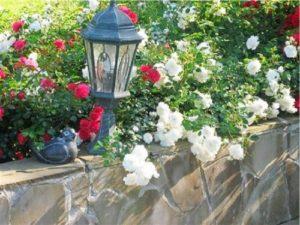 Для обильного и продолжительного цветения почвопокровным розам нужно хорошее освещение.