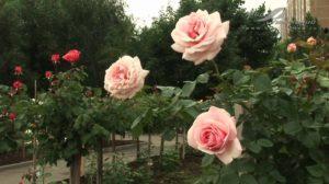 Чайно-гибридная роза «Aphrodite».