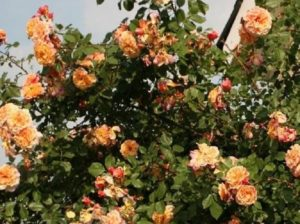 Роза «Алоха».