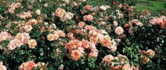 Роза «Априкола»
