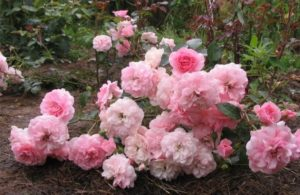1.Роза ««Боника» (Bonica).