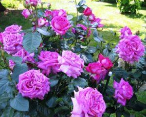 Чайно-гибридная роза ««Шартрез де Парм».
