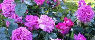 Роза «Шартрез де Парм»
