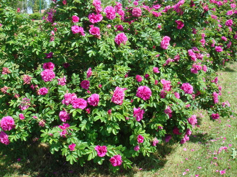 Роза морщинистая «Ханса»