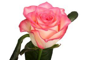 По внешнему виду и условиям произрастания сорт «Джамиля» обладает типичными качествами группы чайно-гибридных роз.