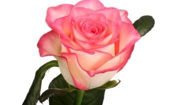 Роза «Джамиля»