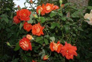 Чайно-гибридная роза «Лас Вегас» - выведена Рамьером Кордесом в 1981 году, путем скрещивания сортов «Feuerzauber» и «Ludwigshafen am Rhein».