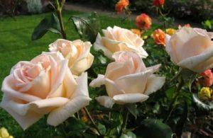 Чайно-гибридная роза «Prima Donna».