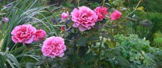 Роза «Принцесса Александра»