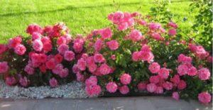 Почвопокровная роза «Супер Дороти» (Super Dorothy).