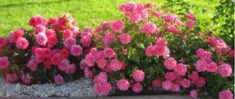 Почвопокровная роза «Супер Дороти»
