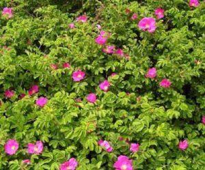 Видовая роза морщинистая - Rosa rugosa.