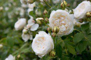 Лимонные бутончики Claire Austin распускаются в кремово-белые розочки с густо уложенными лепестками, характерными для английских мускусных сортов.